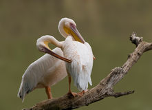 Great white Pelican pair Stock Photo