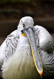 Great white pelican - Pelecanus onocrotalu Royalty Free Stock Photos