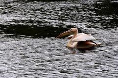 Great white pelican - Pelecanus onocrotalu Royalty Free Stock Images