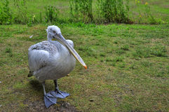 Great white pelican - Pelecanus onocrotalu Royalty Free Stock Images