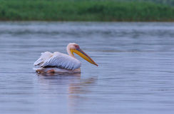 Great white pelican, Pelecanus onocrotalus Stock Photo
