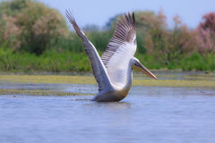 Great white pelican, Pelecanus onocrotalus. In natural environment stock photos