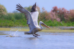 Great white pelican, Pelecanus onocrotalus. In natural environment stock images