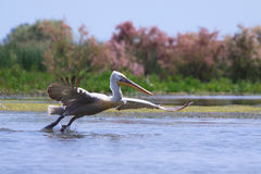 Great white pelican, Pelecanus onocrotalus Stock Photography