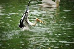 Great White Pelican (Pelecanus onocrotalus) Royalty Free Stock Photos