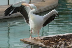 Great White Pelican - Pelecanus onocrotalus Royalty Free Stock Image