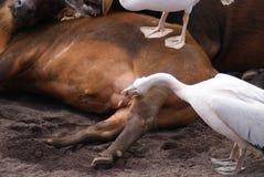 Great White Pelican - Pelecanus onocrotalus Stock Photography