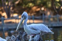 Great white pelican, Pelecanus onocrotalus Stock Photography