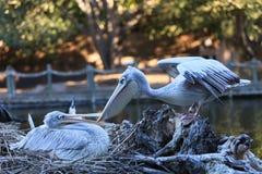 Great white pelican, Pelecanus onocrotalus Stock Image