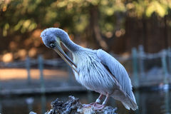 Great white pelican, Pelecanus onocrotalus Royalty Free Stock Photo