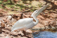 The great white pelican Pelecanus onocrotalus Stock Images