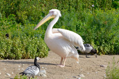Great White Pelican. (Pelecanus onocrotalus) also known as the Eastern White Pelican, Rosy Pelican or White Pelican is a bird in the pelican family Royalty Free Stock Photography