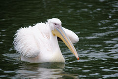 Great White Pelican. (Pelecanus onocrotalus) also known as the eastern white pelican, rosy pelican or white pelican is a bird in the pelican family Royalty Free Stock Image