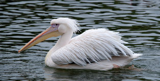Great White Pelican. (Pelecanus onocrotalus) also known as the eastern white pelican, rosy pelican or white pelican is a bird in the pelican family Stock Image
