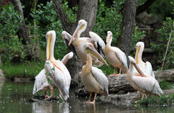 The great white pelican Royalty Free Stock Photo