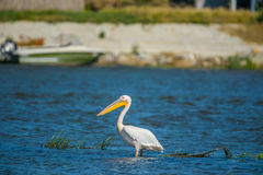 Great white pelican (Pelecanus onocrotalus) also known as the eastern white pelican, rosy pelican or white pelican is a bird in th. E pelican family. Danube Royalty Free Stock Images