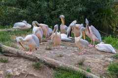 Great white pelican (Pelecanus onocrotalus) also known as the eastern white pelican, rosy pelican or white pelican is a bird in th Stock Image