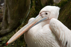 Great white pelican Pelecanus onocrotalus. Royalty Free Stock Photo