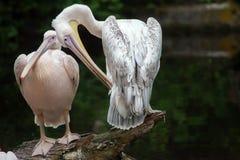 Great white pelican Pelecanus onocrotalus. Stock Photo