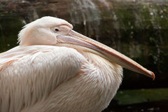 Great white pelican Pelecanus onocrotalus. Royalty Free Stock Images