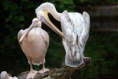 Great white pelican Pelecanus onocrotalus. Stock Photos