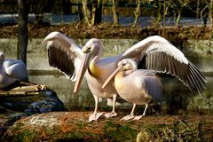 Great White Pelican, Pelecanus onocrotalus in the zoo royalty free stock image