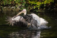 Great White Pelican, Pelecanus onocrotalus in the zoo royalty free stock photography