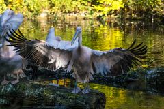 Great White Pelican, Pelecanus onocrotalus in the zoo stock image