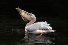 Great white pelican (Pelecanus onocrotalus) Stock Images