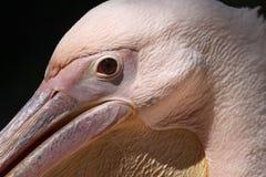 Great white pelican (Pelecanus onocrotalus). Royalty Free Stock Images