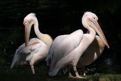 Great white pelican (Pelecanus onocrotalus). Royalty Free Stock Image