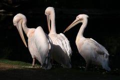 Great white pelican (Pelecanus onocrotalus). Stock Photos