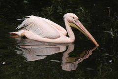Great white pelican (Pelecanus onocrotalus) Royalty Free Stock Images