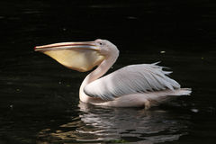 Great white pelican (Pelecanus onocrotalus). Also known as the rosy pelican. Wildlife animal stock photography