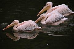 Great white pelican (Pelecanus onocrotalus). Stock Photography
