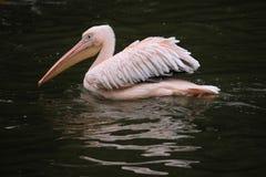 Great white pelican (Pelecanus onocrotalus). Stock Images