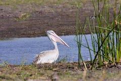 Great White Pelican, Pelecanus onocrotalus,  Botswana Royalty Free Stock Photo