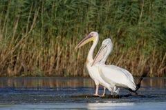Great white-pelican, Pelecanus onocrotalus Stock Photos