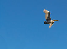 Great White Pelican, Pelecanus onocrotalus, in Flight Royalty Free Stock Photography