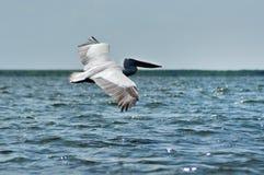 Great white pelican (Pelecanus onocrotalus) Stock Image
