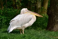 Great white pelican Pelecanus onocrotalus. In zoological garden Royalty Free Stock Photography