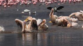 Great White Pelican, pelecanus onocrotalus, Group having Bath, Colony at Nakuru Lake in Kenya, stock video footage