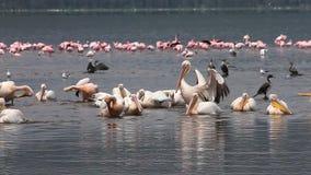 Great White Pelican, pelecanus onocrotalus, Group having Bath, Colony at Nakuru Lake in Kenya, stock video