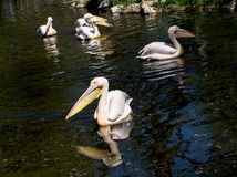 Great white pelican (Pelecanus onocrotalus) Stock Image