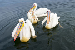 Great White Pelican (Pelecanus onocrotalus) Royalty Free Stock Images