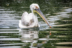 Great white pelican - Pelecanus onocrotalus in the lake Royalty Free Stock Images