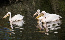 Great white pelican (Pelecanus onocrotalus) on the lake Royalty Free Stock Images