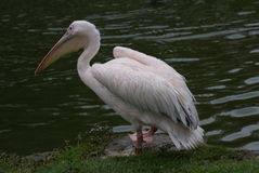 Great White Pelican - Pelecanus onocrotalus Royalty Free Stock Images