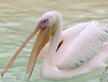 Great White Pelican (Pelecanus Onocrotalus) Royalty Free Stock Image