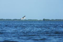 Great white pelican -Pelecanus onocrotalus -2. Picture of inflight white pelican over the Danube delta stock photography